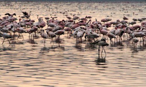 Zdjecie KENIA / naruru / nakuru / flamingos