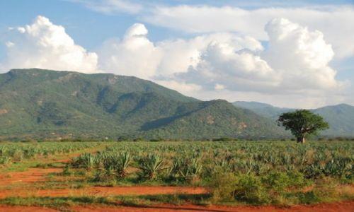 Zdjecie KENIA / Tsavo / Okolice Tsavo East / Plantacja agawy (?)