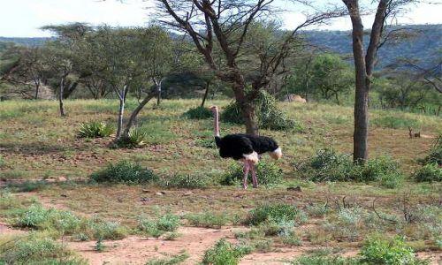 Zdjecie KENIA / Wielki Rów Afrykański / Jezioro Bogoria / Struś