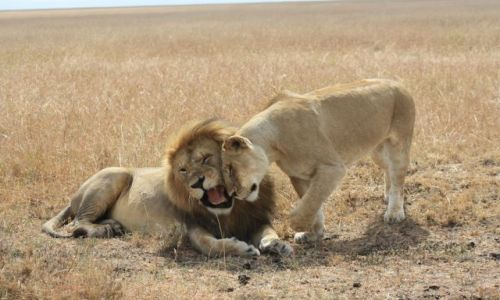 Zdjecie KENIA / masai mara / masai mara / safari