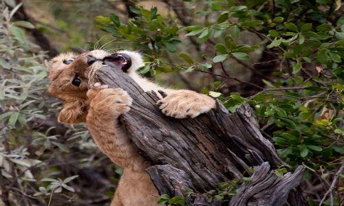 Zdjecie KENIA / Masai Mara / Masai Mara / Ostrzenie ząbków ;)