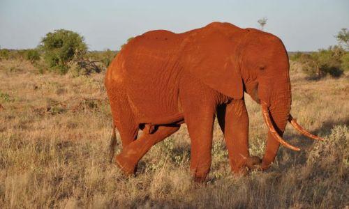 Zdjecie KENIA / - / Tsavo East / Czerwone słonie