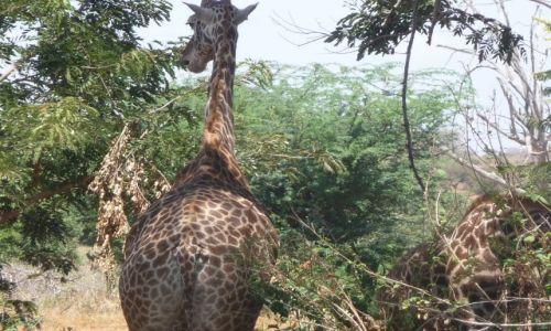 Zdjęcie KENIA / TSAVO EAST / Park Narodowy Tsavo / Nie zawsze przodem