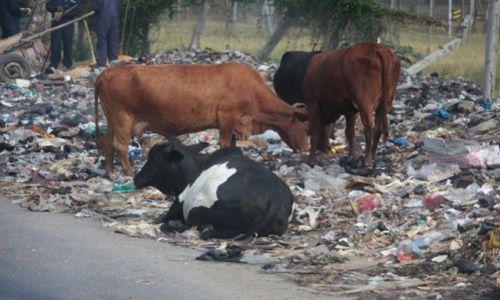 Zdjecie KENIA / - / Mombasa / pastwisko...