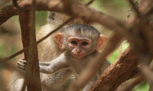 Zdjecie KENIA / Mombasa / Park Narodowy Tsavo East / Małpi Plastuś