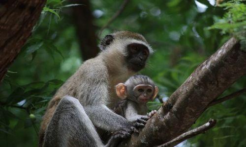 Zdjecie KENIA / Mombasa / Park Narodowy Tsavo East / małpi Plastuś z mamą