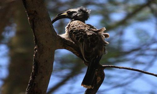 Zdjęcie KENIA / Mombasa / Park Narodowy Tsavo East / prawdobpodobnie z rodziny dzioborożców???
