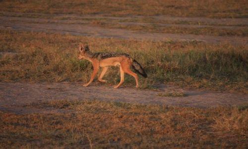 Zdjęcie KENIA / Park Narodowy Tsavo West / Tsavo West / Szakal wieczorową porą...