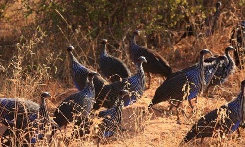 Zdjęcie KENIA / Park Narodowy Tsavo West / Tsavo West / afrykańskie perliczki...???