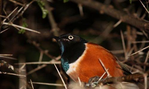 Zdjęcie KENIA / Park Narodowy Tsavo West / Tsavo West / śpiący z otwartymi oczami