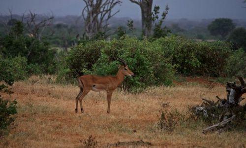 Zdjecie KENIA / Południowa  Kenia / Mombasa / impala w całej okazałości