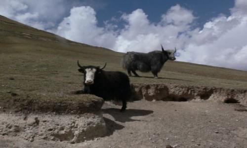Zdjecie KIRGIZJA / Kirgizja / Góry / Jaki