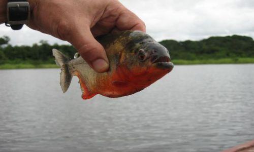 Zdjęcie KOLUMBIA / amazonas / puerto narino / złota rybka