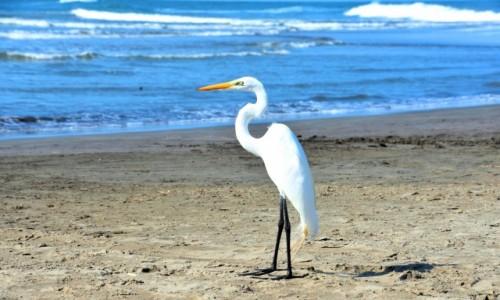 Zdjecie KOLUMBIA / Cartagena de Indias / Wybrzeże / Czapla biała
