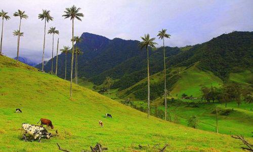 Zdjęcie KOLUMBIA / płn Kolumbia / Valle de Cocora / Pasąca się wołowina klasy