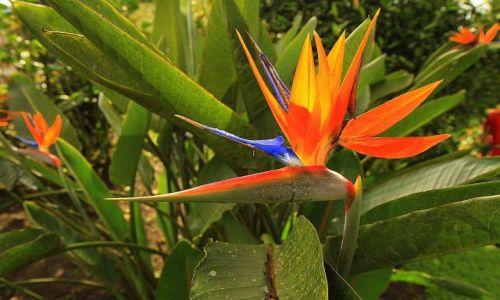 Zdjęcie KOLUMBIA / płn Kolumbia / hacjenda Guajabal / Strelicja w stanie dzikim :)