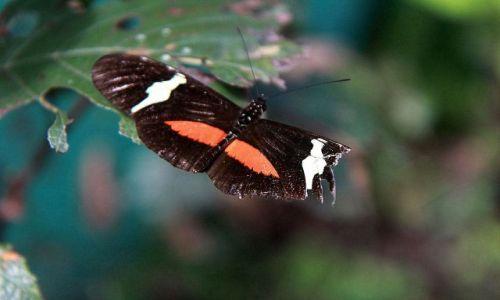 Zdjecie KOLUMBIA / płn Kolumbia / Sierra Nevada / Helikon - trujący motyl.