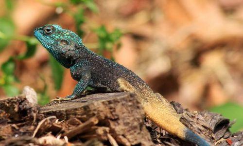 Zdjęcie KONGO / Ituri  / Semliki Forest / Agama niebieskogłowa