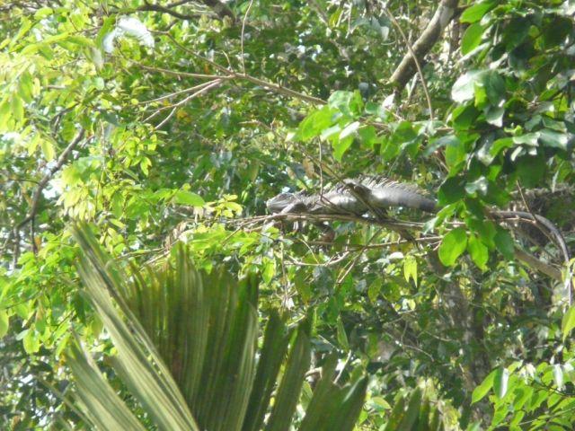 Zdjęcia: Tortuguero, Tortuguero, 2-metrowa iguana, KOSTARYKA