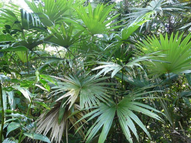 Zdjęcia: Tortuguero,  , w palmiarni :-), KOSTARYKA