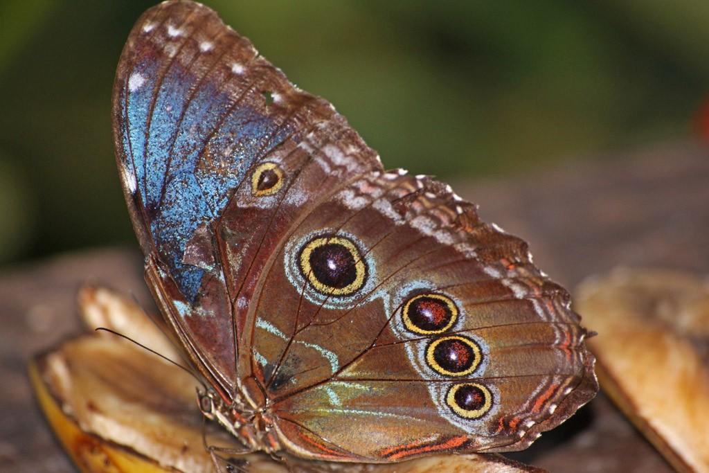 Zdjęcia: La Fortuna, Ecocentro Danaus , Motyl Morpho, KOSTARYKA