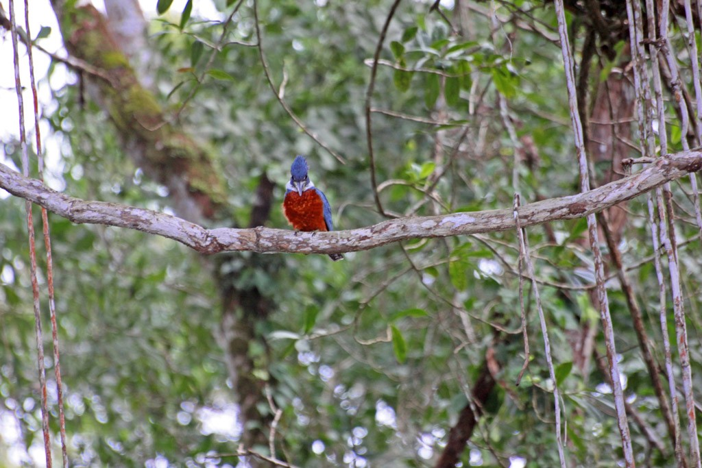 Zdjęcia: Caño Negro, Ptaki 1, KOSTARYKA