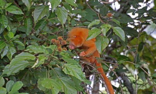 KOSTARYKA / - / Rezerwat Caño Negro / Wyjec płaszczowy albinos