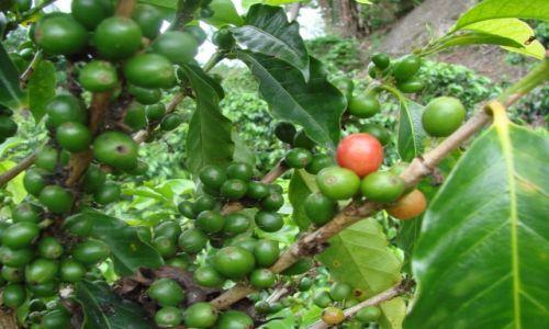 Zdjecie KOSTARYKA / San Jose / Okolice San Jose / Kostarykańska kawa