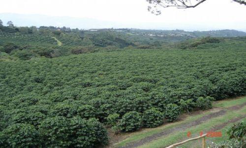 Zdjęcie KOSTARYKA / Kostaryka / Kostaryka / Plantacja kawy
