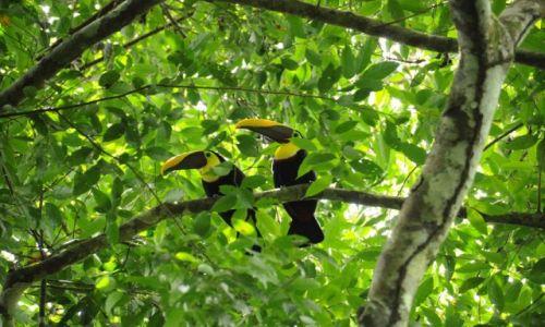 Zdjęcie KOSTARYKA / Peninsula Osa / Park Narodowy Corcovado / Tukany brązowodziobe