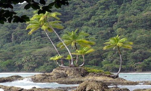 Zdjęcie KOSTARYKA / półwysep Osa / park corcovado / Palma kokosowa,drzewo, które zaspokaja wszystkie potrzeby życia.