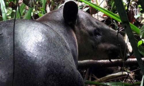 Zdjęcie KOSTARYKA / półwysep Osa / park corcovado / Tapir
