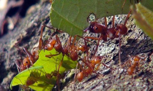 Zdjęcie KOSTARYKA / półwysep Osa / park corcovado / Mrówki grzybiarki