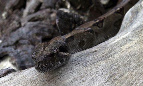 Zdjęcie KOSTARYKA / półwysep Osa / park corcovado / Boa największy wąż Kostaryki.