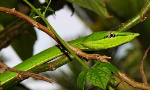 Zdjecie KOSTARYKA / Limon / PN Tortuguero / Wąż zielony winorośli (wąż ostrogłowy)