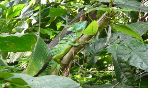 Zdjęcie KOSTARYKA / Tortuguero / Tortuguero / bazyliszek wśród kanałów w dżungli