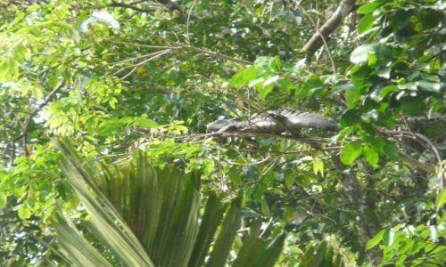 Zdjecie KOSTARYKA / Tortuguero / Tortuguero / 2-metrowa iguana