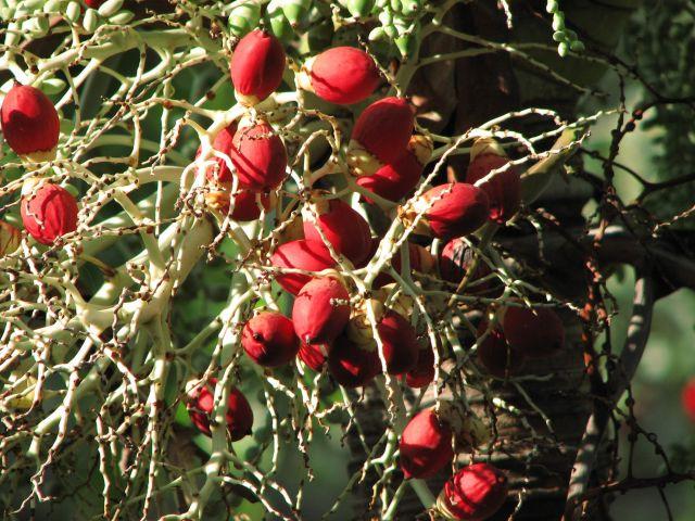 Zdjęcia: kuba, Matanzas, owoce, KUBA