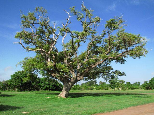 Zdjęcia: Zapada, Kuba, drzewo, KUBA