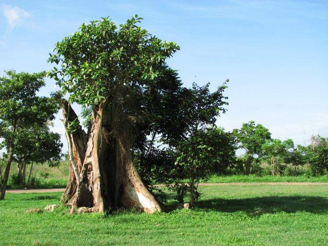 Zdjęcia: Zapada, Kuba, drzewa, KUBA