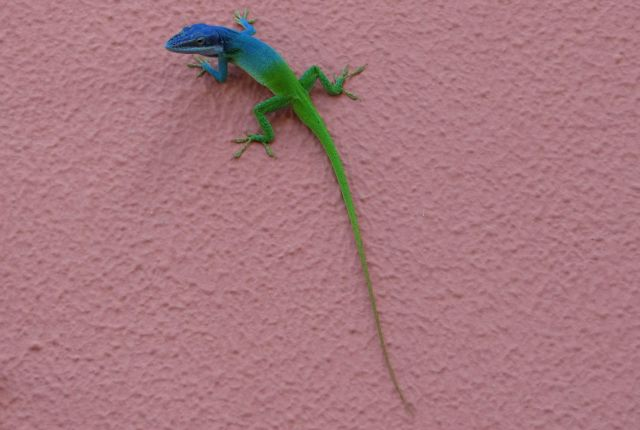 Zdjęcia: Kuba, Varadero, gady, KUBA