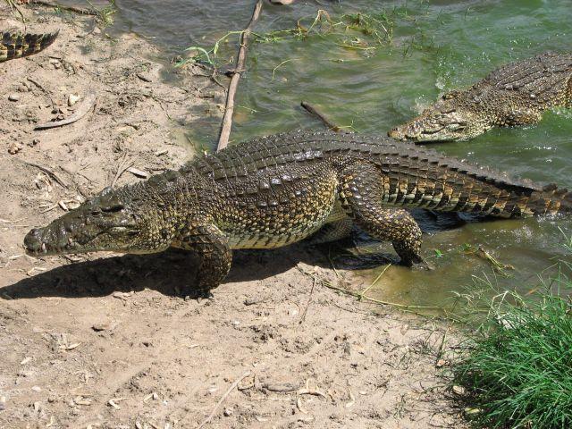 Zdjęcia: Kuba, Zapada, krokodyl, KUBA