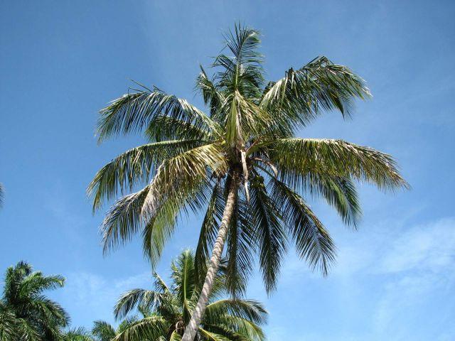 Zdjęcia: Kuba, Południe, palmy na zapadzie, KUBA
