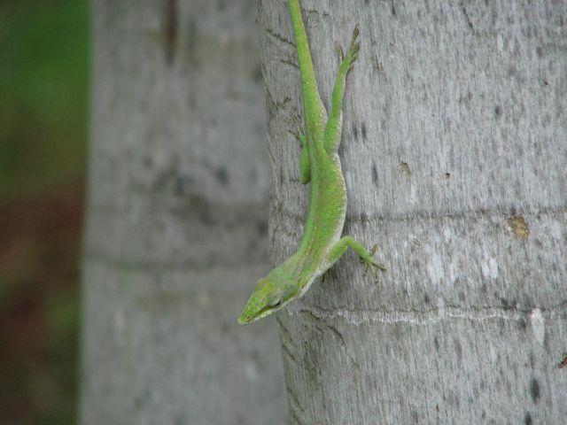 Zdj�cia: Varadero, Varadero, jaszczurka, KUBA