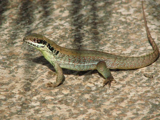 Zdjęcia: Varadero, Varadero, jaszczurka, KUBA
