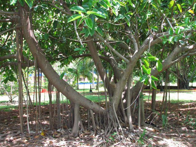 Zdjęcia: kuba, Varadero, wąsate drzewa, KUBA