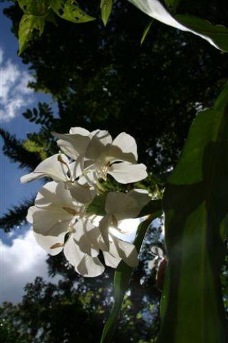Zdjęcia: Guanajara Park, Guanajara, kwiat narodowy Kuby, KUBA