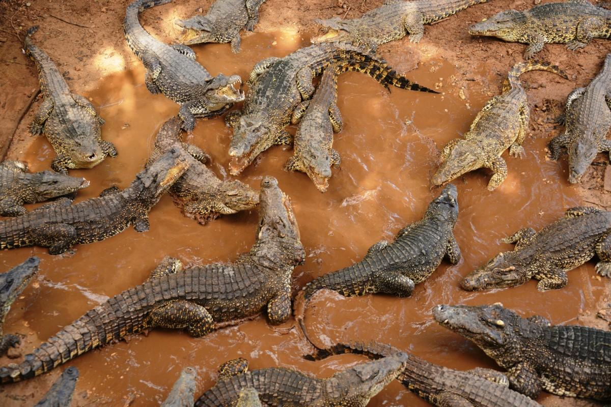 Zdjęcia: półwysep Zapata, xxx, Stado krokodyli, KUBA