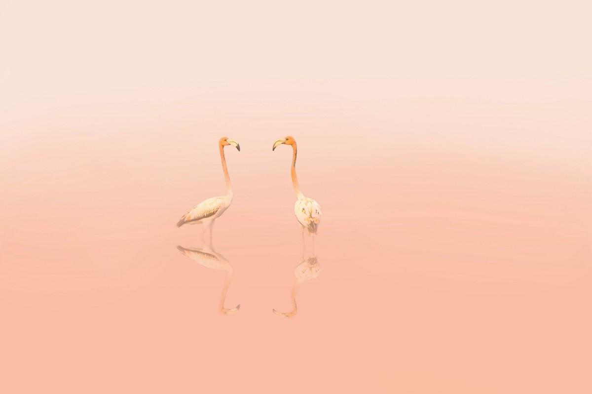 Zdjęcia: Cayo Guillermo, Cayo Guillermo, Flamingi, KUBA