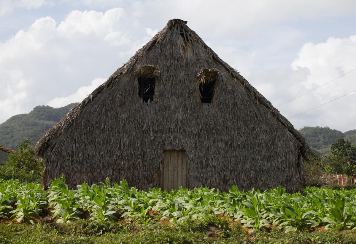 Zdjęcia: Vinales, Prowincja Pinar del Rio, Suszarnia tytoniu, KUBA
